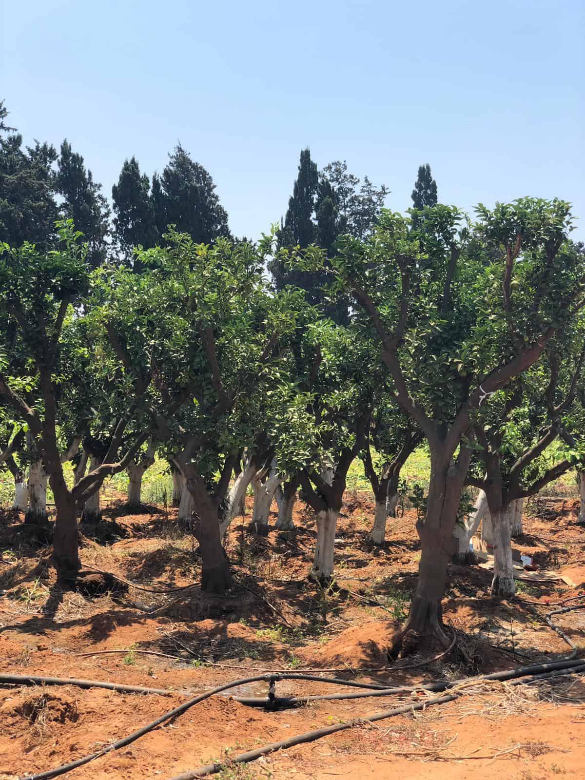 עץ תפוז טבורי